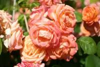 rosenz chter francis meilland meilland rosen. Black Bedroom Furniture Sets. Home Design Ideas